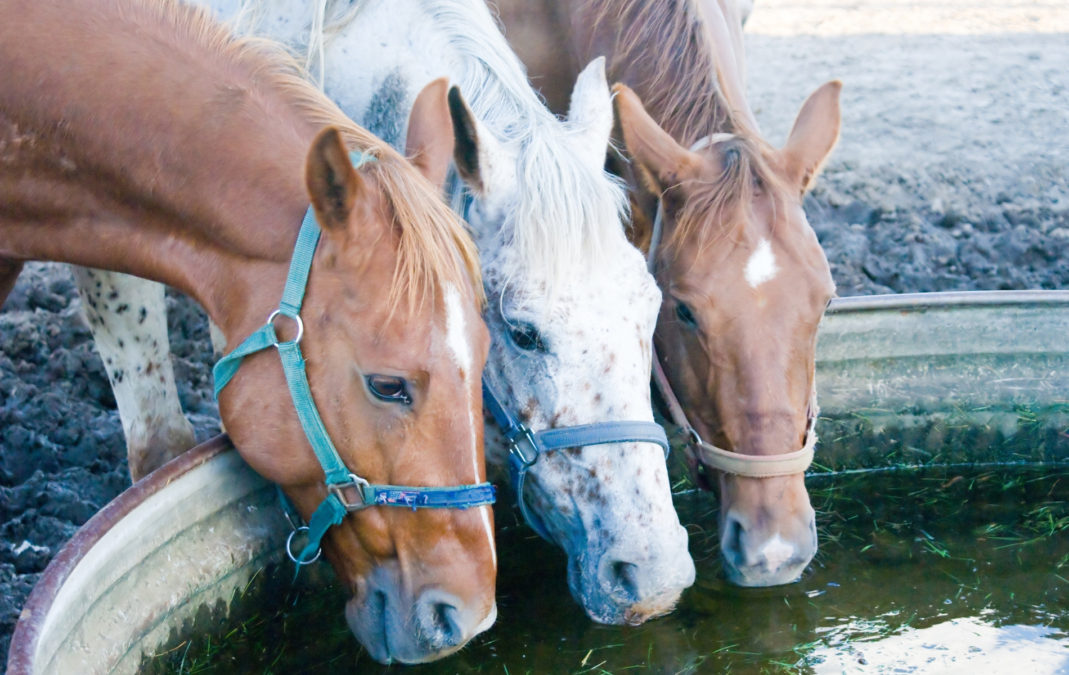 Water is vital to a horse's health. They require 5 gallons or more a day