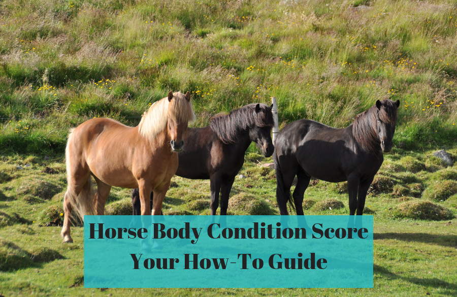 Horse Body Condition Scoring System